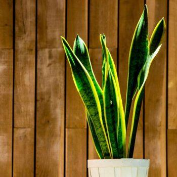 Planta decorativa La Malinche Santander